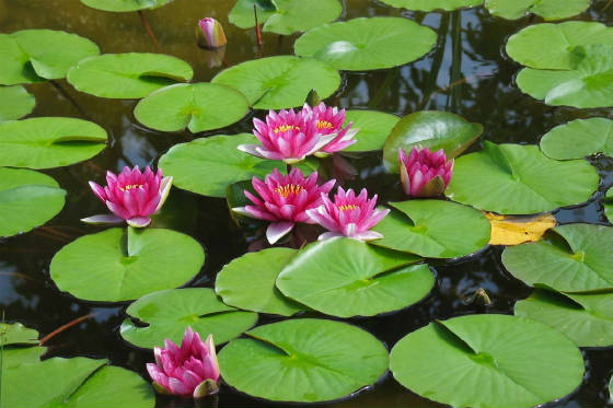 water-lillies-x4dq.jpg